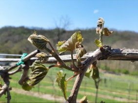 Frost damaged early blooming grape varieties last week in southern Ohio.