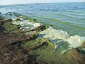 Algal blooms on Lake Erie. (Photo: CFAES)