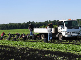 MIgrant workers in Huron County play a crucial role in harvesting vegetables throughout the season. (Photo: Ken Chamberlain, CFAES)