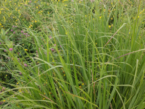 Switchgrass and Indiangrass, both prairie grasses, can survive flooded conditions and even drought. (Photo: CFAES)