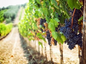 The Ohio Grape and Wine conference offers talks from experts on every phase of making wine from growing the grapes to managing the fermentation process. (Photo: Thinkstock)