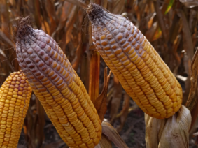 The fungal disease that contaminated corn in Ohio and across the Corn Belt in 2018 can survive through the winter, so it could impact next year's crop.  (Photo: CFAES)