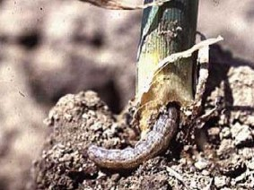 Black cutworm. Photo: OSU Extension
