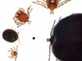 Nymphal and adult forms of the lone star tick. Clockwise, from bottom left: unfed nymph, engorged nymph, adult male, unfed adult female, and engorged adult female. For size reference, the center dot is approximately 0.8 mm diameter. Photo by Jeffery Alfred, used with permission from Iowa State University Extension.