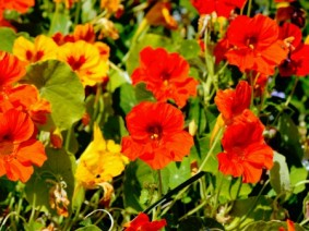 Edible flowers such as nasturtium are a good option for an edible landscape. Considering that today is Arbor Day (April 27), why not mark the occasion by planning and then planting an edible landscape?