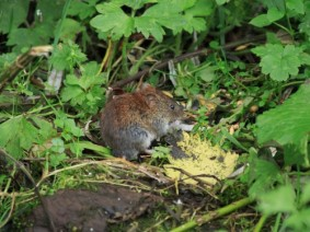 Voles and slugs have been dining on some corn and soybean crops across the state, causing some growers and producers to experience crop injuries