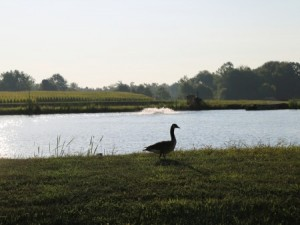 goose by pond at South Centers