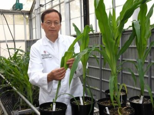 Photo of Dr. Wang in greenhouse with corn plant