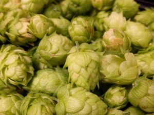 Hops Pre-Harvest Field Night on July 27 to review everything farmers needs to know about preparing for harvest. Photo: Flickr