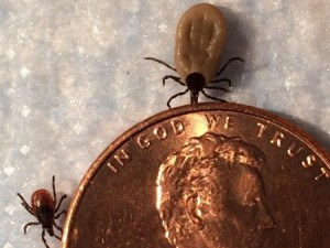 Female blacklegged deer ticks next to a penny. The ticks that transmit Lyme disease are much smaller than other ticks.