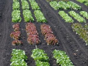 leafy greens crops