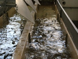 Healthy water leads to healthy fish and increases the potential for healthy profits for fish farmers. CFAES workshop offers tips on how to boost water quality for fish farming. Photo: Thinkstock.
