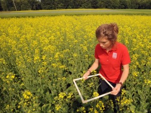 Research assistant Hannah Whitehead studies the plots of canola growing on the Mellinger Farm. (Photo by Ken Chamberlain)
