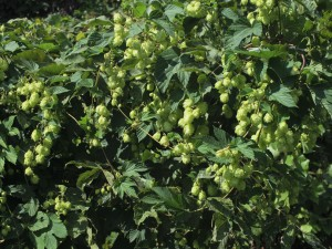 CFAES is offering free monthly tours of its hops fields in Wooster and Piketon, where specialists are studying new production and management techniques. (Photo: Thinkstock)