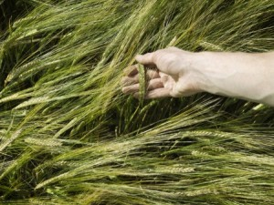 Malting barley crops. Photo: Thinkstock.