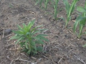 Marestail. Photo: CFAES.