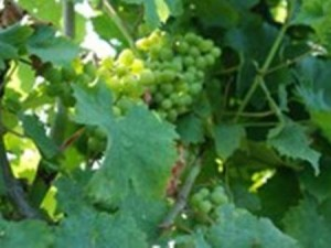 Ohio State University research has been key to the growth of Ohio's rapidly expanding grape and wine industries.