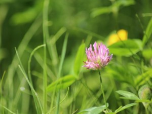 Red clover cover crop
