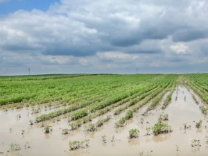 Flooded soybean field. Photo: Thinkstock