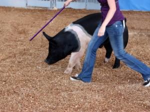 woman showing hog at fair