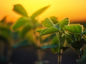 Soybean breeders and plant pathologists in the College of Food, Agricultural, and Environmental Sciences collaborate to create new and improved varieties of soybeans. (Photo: Thinkstock)