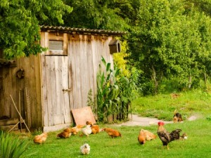 An outbreak of Salmonella has infected 32 people in Ohio and is linked to backyard chickens.