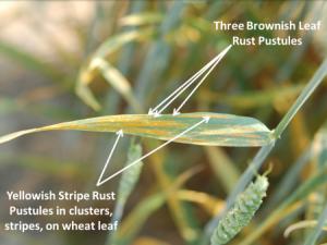 Wheat stripe and wheat rust. Photo: CFAES.