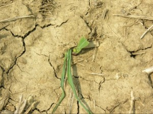 An example of black cutworm above ground injury on corn. Photo: CFAES