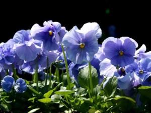 Image of blue pansies