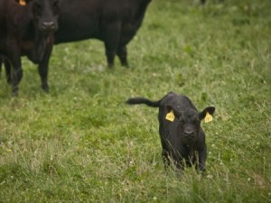 Proper nutrition is crucial during the calving and lactation periods. (USDA.gov image)
