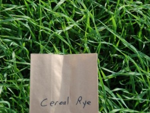 Cereal rye cover crop (Photo: OSU Extension)