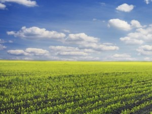 Corn crops. Photo: Thinkstock.