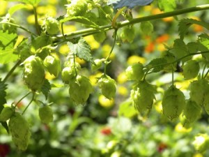 Hops. Photo: Thinkstock