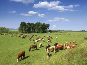 Grazing livestock. Photo: Thinkstock.