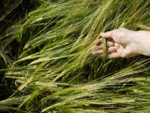 Malting barley. Photo: Thinkstock
