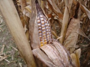 Moldy corn ears (photo: OSU Extension)