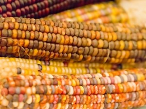 Flint, or Indian, corn comes in many colors and contains anthocyanins and other cancer-fighting nutrients.
