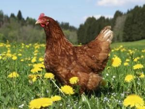 Pastured chicken image