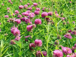 Red clover can be used as an effective cover crop. Photo: Thinkstock.
