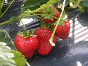 Strawberries on plastic. Photo: CFAES
