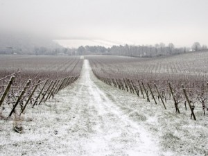 VIneyard in winter. Photo: Thinkstock