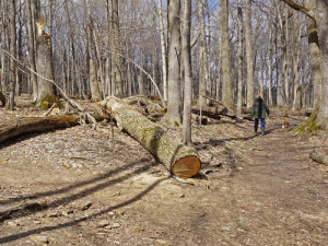 Dead ash trees fell near a trail at the Glen Helen Nature Preserve in Yellow Springs, Oh. (Photo: CFAES)