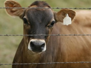 Jersey Dairy Cow