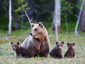 Grizzly bear and pups