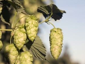 Hops cone for beer production
