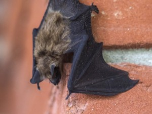 A deadly disease is killing bats in many parts of North America, including Ohio. (Photo: Little brown bat, iStock.)