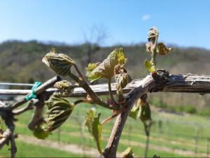 Frost damaged early blooming grape varieties last week in southern Ohio.