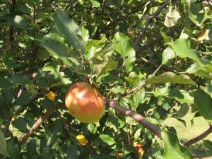 Known as the official state apple of Ohio, the Melrose apple tends to be large with good flavor and texture. Photo: Ohio State University.