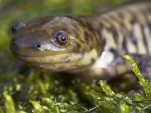 Protecting salamanders