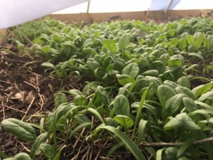 Spinach under cover in January, ready to harvest. Photo: CFAES